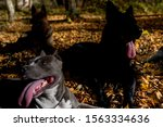 Stock photo abstract image of sitting dogs with tongues out 1563334636