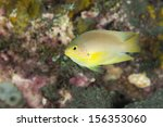 Small photo of Golden Damsel (Amblyglyphidodon aureus) on a tropical coral reef in Bali, Indonesia.