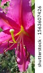 Stock photo pink lily inside and distinct back petal 1563607426