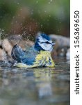 Small Bird Blue Tit Bathing