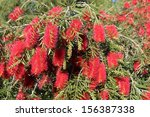 Showy Weeping Callistemon Or...