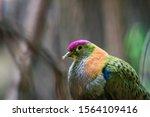 A Superb Fruit Dove  Ptilinopu...