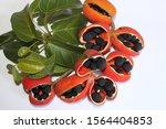 Peanut Tree Sterculia...