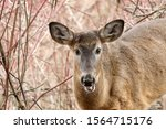 White Tailed Deer Doe In Forest