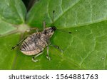 Small photo of The ivy weevil (Liophloeus tessulatus - Family Curculionidae) playing dead, as a defense mechanism