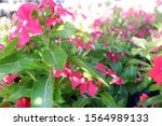 Small photo of Anthurium is very easy to look after
