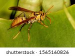 Potter Wasp  Vespidae Family ...