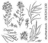 canola flowers  organic mustard ... | Shutterstock .eps vector #1565241130