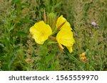 Oenothera Biennis  Common...