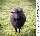 Small photo of black sheep in a pasture