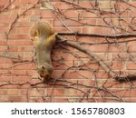Squirrel  Sciurus Niger ...