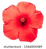 Red Hibiscus Flower On Isolated ...