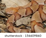 Small photo of Deadly pit viper snake - the Copperhead Snake, Agkistrodon contortrix phaeogaster