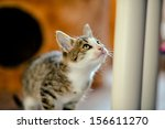 Stock photo kitten prepared for a jump age of months 156611270