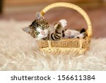 Stock photo little kitty is in the basket and looks aside age month 156611384