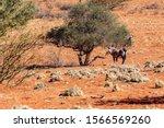 Oryx In The Kalahari Desert In...