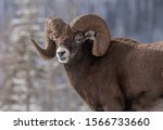 Bighorn Sheep In Jasper...