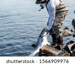 Angler Holds Striped Bass In...