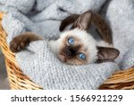 Cute Kitten Siamese Cat Indoor