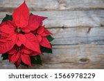 Red Poinsettia  Christmas...