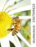 A Western Honey Bee  Apis...