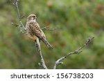 Common Kestrel Hawk Specie...