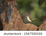 Common Tailor bird at hyderbad
