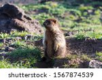 Black-capped marmot (Marmota camtschatica). This type of marmot is biologically similar to the Mongolian marmot - tarbagan (Marmota sibirica). It lives in Eastern, North-Western Siberia and Kamchatka.