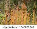 Small photo of Reed mace / Reed mace (Cattail) is an emerged plant that grows on the waterside, with sausage-like ears in the summer.