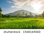 Green Rice Field With Sunrise...