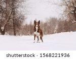 Adorable Border Collie Dog...