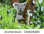Stock photo koala bear in the zoo 156828680