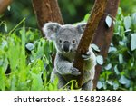 Koala bear in the zoo