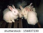 Stock photo breeding meat rabbits 156837230