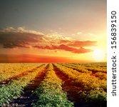 tomato field over the sun set | Shutterstock . vector #156839150