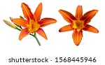 Two Flowers Of Daylily Brown...