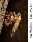 Adult Cicada emerging from its last larval skin - stock photo