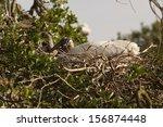 Wood Stork Sitting On Nest