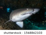 Ragged Tooth Shark Hidden In A...