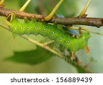 The large, polymorphic Imperial Moth caterpillar comes in colors of green, brown, red, or orange