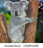 Koala Bear In Forest Zoo