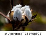 Raw Cotton Growing In A Cotton...