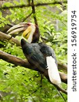 Small photo of Wreathed Hornbill (Aceros Undulatus) in the zoo of Thailand.