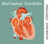 heart anatomy   | Shutterstock .eps vector #156921464
