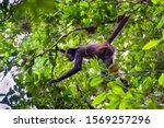 A Spider Monkey Forages For...