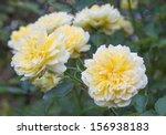 Full Yellow Old Roses In Garden