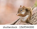 American Red Squirrel  In Winter