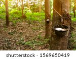 Rubber Tree Plantation. Rubber...
