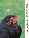 Close Up On A Black Hen...