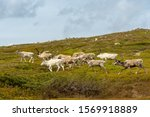 Summer View Of A Herd Of Pale...